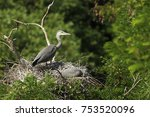 grey herons are the largest... | Shutterstock . vector #753520096