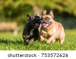 two cute french bulldogs... | Shutterstock . vector #753572626