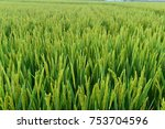 mature rice fields are in the... | Shutterstock . vector #753704596