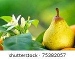 Rocha pear on green background. - stock photo