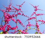 the mexican creeper  bee bush ... | Shutterstock . vector #753952666