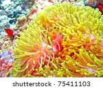 Nemone Fish With Anemone