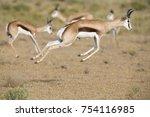 Springbok Herd Prancing Happy...