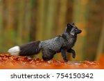 Black Silver Fox  Rare Form....