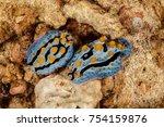 Phyllidia  Sea Slug  A Dorid...