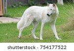Big White Wolf Walking On A...
