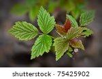 Raspberry Plant Starting To...