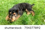 Small photo of Playful Airedale pup