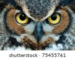 Great Horned Owl Staring With...