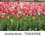 Colorful Tulips Flowers...