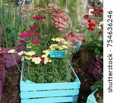 Small photo of A box of colorful labelled Achillea plants.