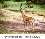 picture of a beautiful impala... | Shutterstock . vector #754645228