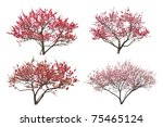 Blooming Plum Tree  Isolated O...