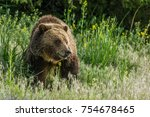 Grizzly Bear in the tall grass