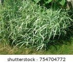 perennial plants. grasess in...   Shutterstock . vector #754704772