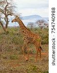 young giraffe running and... | Shutterstock . vector #754740988