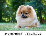 Pomeranian Lie On The Grass...