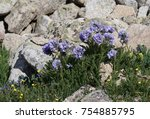 Small photo of Sky Pilot Sticky Jacob's Ladder on mount huron growing sometimes in the middle of the rocks
