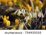 snowdrop spring flowers....   Shutterstock . vector #754935535