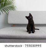 Stock photo black small kitten sitting on gray sofa 755030995