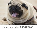cute little pug puppy | Shutterstock . vector #755079466