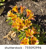 dazzling princess lilies ... | Shutterstock . vector #755092996
