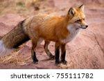 Red Fox Fennec Fox