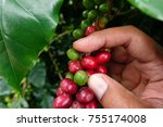 coffee beans ripening on a tree. | Shutterstock . vector #755174008