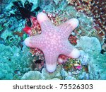 thickhand starfish - stock photo