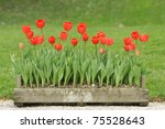 Red Tulip Flowers In Wooden Pot