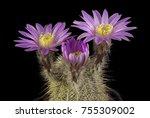 Close Up Of A Cactus In A Pot   ...