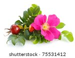 Fruit And Flower Wild Rose On ...