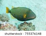 Orange Lined Triggerfish ...