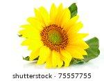 yellow flower sunflower on white background - stock photo