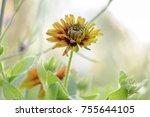 yellow flower in garden  | Shutterstock . vector #755644105