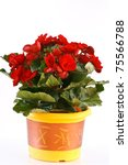 blooming red begonia room on a white background - stock photo