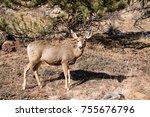 mule deer doe walking across... | Shutterstock . vector #755676796