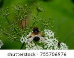 Small photo of Pellucid hoverfly on a white flower and green background