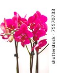 blooming purple Phalaenopsis orchid on white background - stock photo