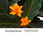 Orange flower calathea  close to the isolated on a white background - stock photo