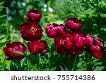Herbaceous Peonies 'buckeye...