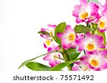 Dendrobium orchid closeup on white background - stock photo