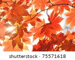 Autumn  Sunny Maple Leaves ...