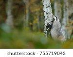badger in forest  animal nature ... | Shutterstock . vector #755719042