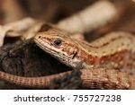 detail of common lizard in... | Shutterstock . vector #755727238
