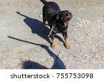 rottweiler looking at a man... | Shutterstock . vector #755753098