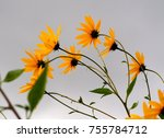 Pretty Yellow Helianthus...