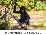 baby spider monkey in the... | Shutterstock . vector #755807812