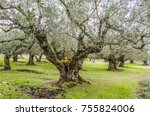 Small photo of In the interior of the island of zakynthos olive plantations abound here you can see one of them