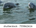 a pod of wild atlantic... | Shutterstock . vector #755862616
